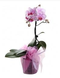 1 dal pembe orkide saksı çiçeği  Hakkari çiçek mağazası , çiçekçi adresleri
