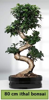 80 cm özel saksıda bonsai bitkisi  Hakkari çiçek gönderme