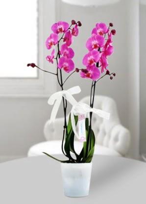 Çift dallı mor orkide  Hakkari internetten çiçek satışı