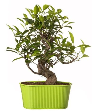 Ficus S gövdeli muhteşem bonsai  Hakkari çiçekçi mağazası