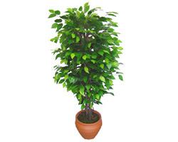 Ficus Benjamin 1,50 cm   Hakkari 14 şubat sevgililer günü çiçek