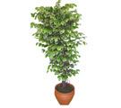 Ficus özel Starlight 1,75 cm   Hakkari online çiçek gönderme sipariş