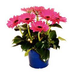 vazo içerisinde gerbera çiçekleri   Hakkari çiçek siparişi vermek