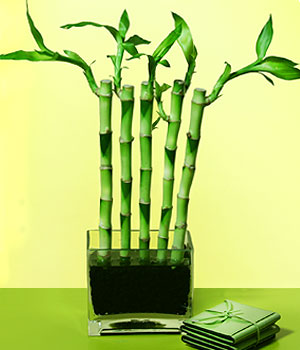 Hakkari 14 şubat sevgililer günü çiçek  Good Harmony Lucky Bamboo camda