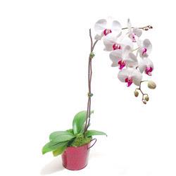 Hakkari çiçek yolla  Saksida orkide