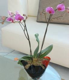 Hakkari hediye çiçek yolla  tek dal ikili orkide saksi çiçegi
