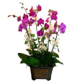 Hakkari online çiçek gönderme sipariş  4 adet orkide çiçegi
