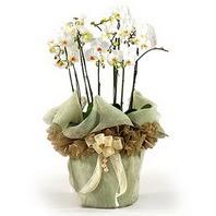 Hakkari çiçekçi mağazası  3 dal orkide , saksi çiçegi , 3 kök orkide