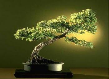 ithal bonsai saksi çiçegi  Hakkari hediye çiçek yolla