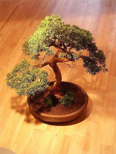 ithal bonsai saksi çiçegi  Hakkari çiçek servisi , çiçekçi adresleri