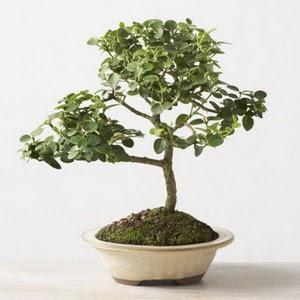ithal bonsai saksi çiçegi  Hakkari hediye sevgilime hediye çiçek