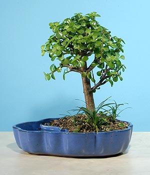 ithal bonsai saksi çiçegi  Hakkari internetten çiçek satışı