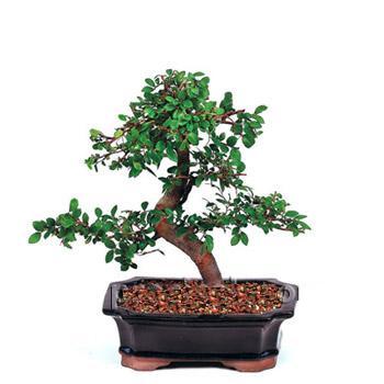 ithal bonsai saksi çiçegi  Hakkari internetten çiçek siparişi