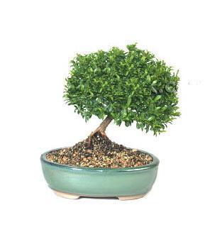 ithal bonsai saksi çiçegi  Hakkari cicek , cicekci