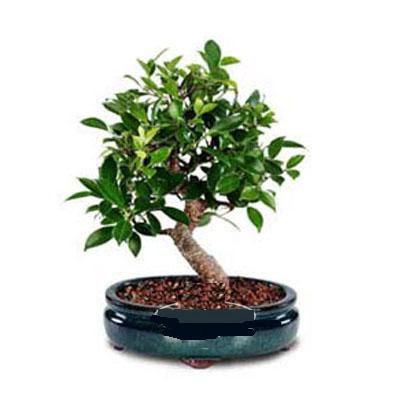 ithal bonsai saksi çiçegi  Hakkari çiçekçi mağazası