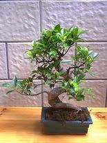 ithal bonsai saksi çiçegi  Hakkari anneler günü çiçek yolla