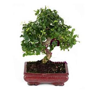 ithal bonsai saksi çiçegi  Hakkari 14 şubat sevgililer günü çiçek