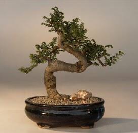 ithal bonsai saksi çiçegi  Hakkari uluslararası çiçek gönderme