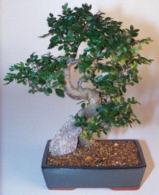 Hakkari İnternetten çiçek siparişi  ithal bonsai saksi çiçegi  Hakkari çiçekçi mağazası