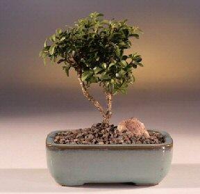 Hakkari çiçek gönderme sitemiz güvenlidir  ithal bonsai saksi çiçegi  Hakkari çiçek siparişi sitesi