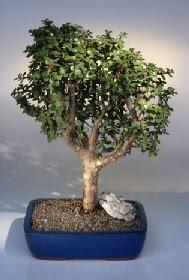 Hakkari çiçek yolla  ithal bonsai saksi çiçegi  Hakkari internetten çiçek satışı
