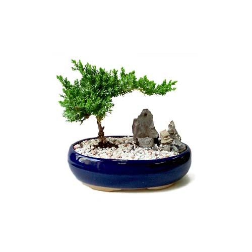 ithal bonsai saksi çiçegi  Hakkari çiçek yolla