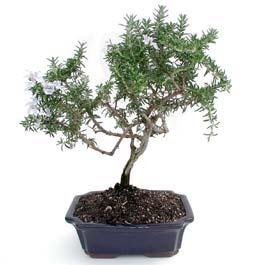ithal bonsai saksi çiçegi  Hakkari çiçek gönderme