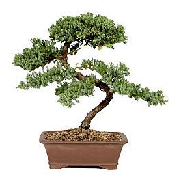 ithal bonsai saksi çiçegi  Hakkari İnternetten çiçek siparişi
