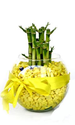 cam fanus içerisinde bambo  Hakkari çiçek siparişi sitesi