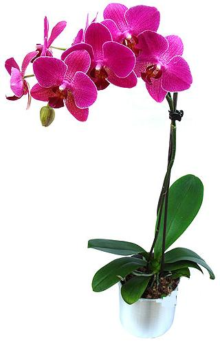 Hakkari hediye çiçek yolla  saksi orkide çiçegi