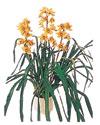 Hakkari internetten çiçek satışı  Orchiede ithal büyük boy saksi