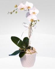 1 dallı orkide saksı çiçeği  Hakkari yurtiçi ve yurtdışı çiçek siparişi