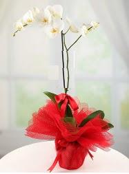 1 dal beyaz orkide saksı çiçeği  Hakkari güvenli kaliteli hızlı çiçek