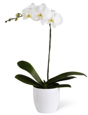 1 dallı beyaz orkide  Hakkari uluslararası çiçek gönderme