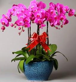 7 dallı mor orkide  Hakkari hediye sevgilime hediye çiçek