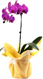 Hakkari çiçekçi mağazası  Tek dal mor orkide saksı çiçeği