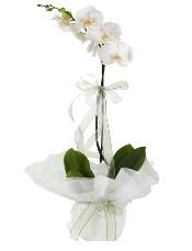 1 dal beyaz orkide çiçeği  Hakkari internetten çiçek siparişi