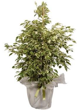 Orta boy alaca benjamin bitkisi  Hakkari çiçek siparişi sitesi