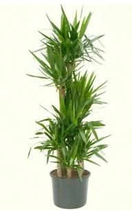 7 li yucca saksı bitkisi  Hakkari çiçek online çiçek siparişi