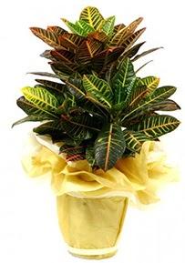 Orta boy kraton saksı çiçeği  Hakkari uluslararası çiçek gönderme