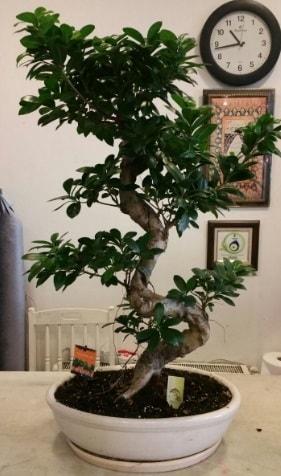 100 cm yüksekliğinde dev bonsai japon ağacı  Hakkari çiçek yolla , çiçek gönder , çiçekçi