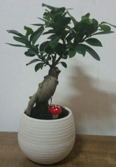 Bonsai japon ağacı saksı çiçeği  Hakkari İnternetten çiçek siparişi