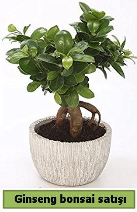 Ginseng bonsai japon ağacı satışı  Hakkari çiçek gönderme