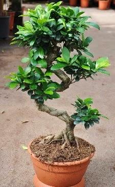 Orta boy bonsai saksı bitkisi  Hakkari çiçekçiler