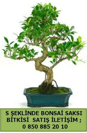 İthal S şeklinde dal eğriliği bonsai satışı  Hakkari çiçek yolla