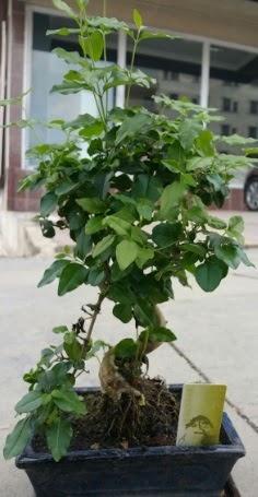 Bonsai japon ağacı saksı bitkisi  Hakkari internetten çiçek siparişi