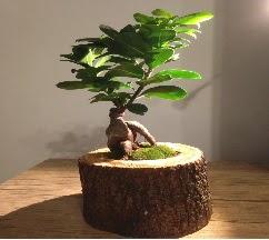 Doğal kütükte Bonsai japon ağacı satışı  Hakkari çiçek siparişi sitesi