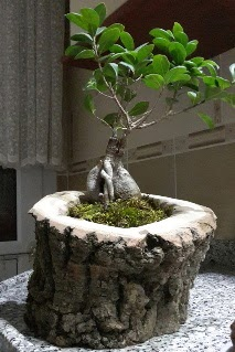 Ahşap kütük içerisinde ginseng bonsai  Hakkari çiçekçiler