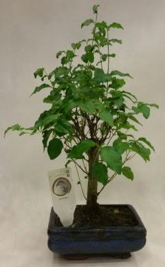 Minyatür bonsai japon ağacı satışı  Hakkari çiçek gönderme