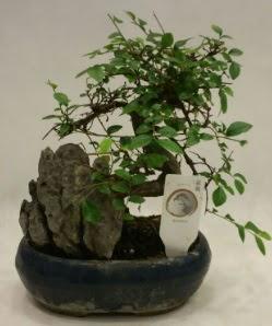 İthal 1.ci kalite bonsai japon ağacı  Hakkari çiçekçi telefonları